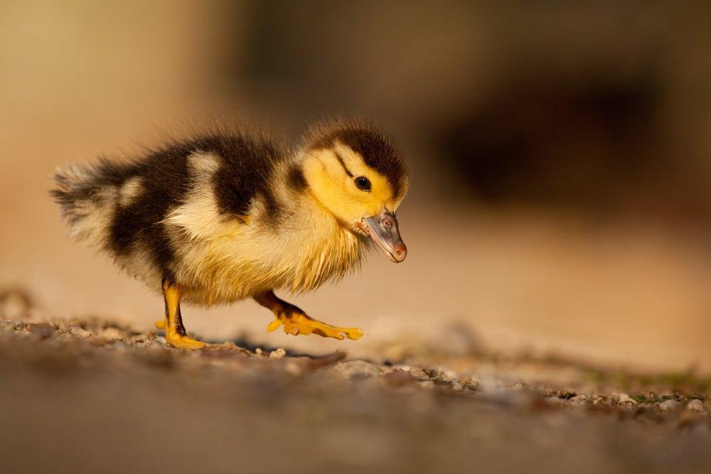 Wir gehen leider oft wie Enten, mit flachem steifen Fuß