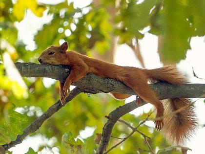 Müdes Eichhörnchen