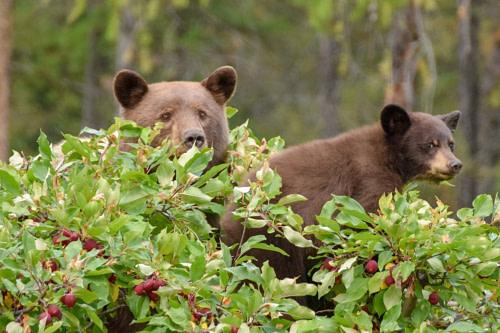 Bärenmutter mit Nachwuchs in einr Baumkrone eines Apfelbaums.
